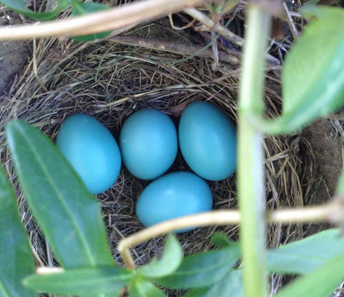 Four robin eggs in nest. The nest is built in our honeysuckle vines on our front porch.
