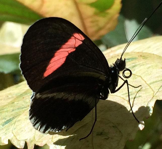 butterflytongue2