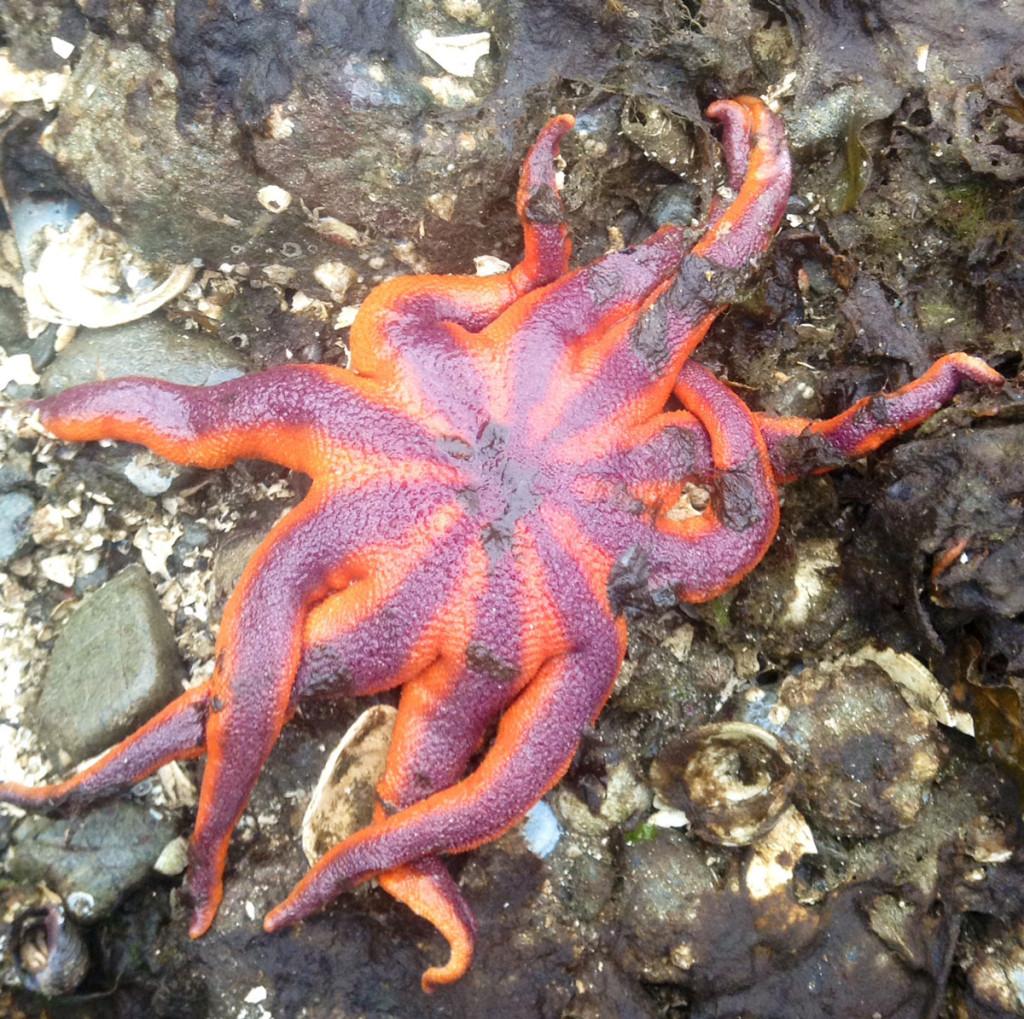 Striped Sun Star (Solaster stimpsoni)