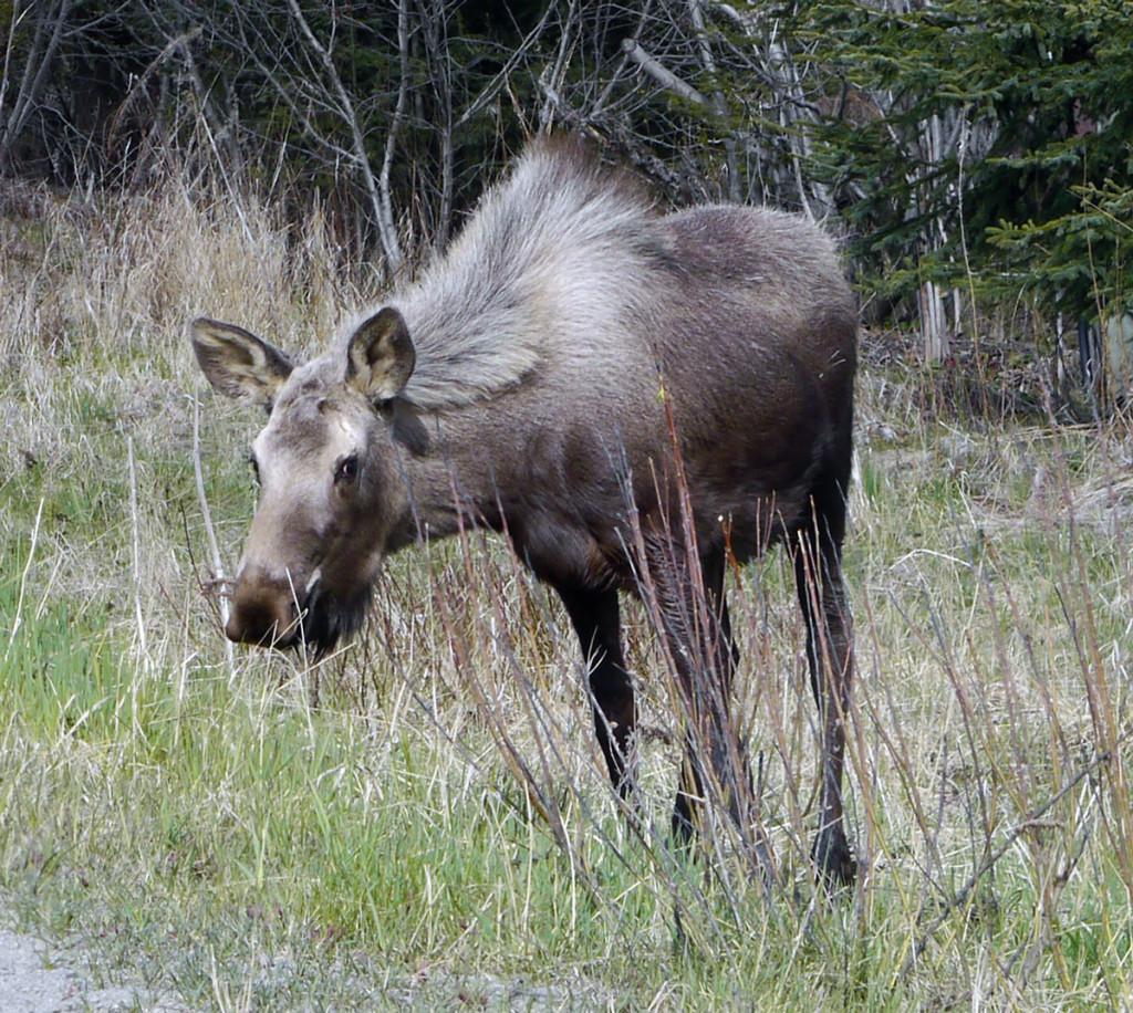 homer_10_moose